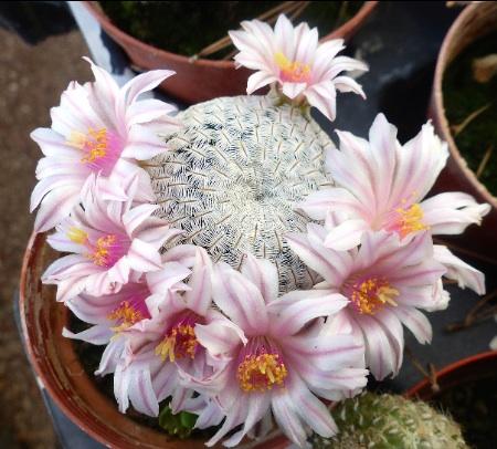 MammillariaSolisiapectinifera.jpg