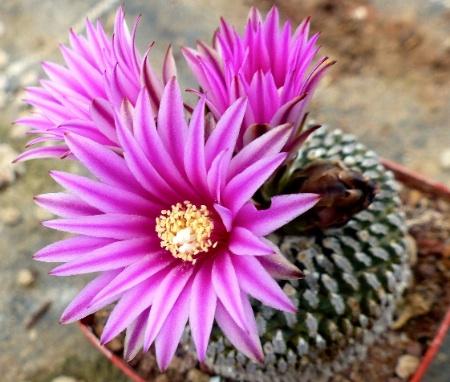 Turbinicarpuspseudopectinatusrubispinus.jpg