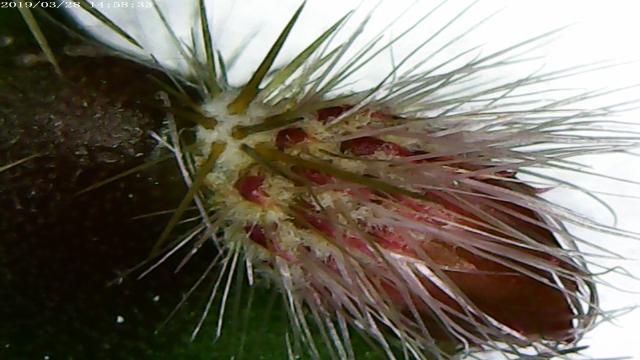 aporocactus_mallisonii-3.jpg