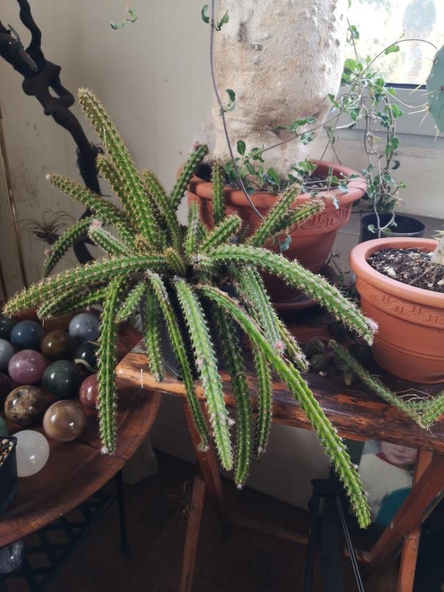 aporocactus_mallisonii-4.jpg