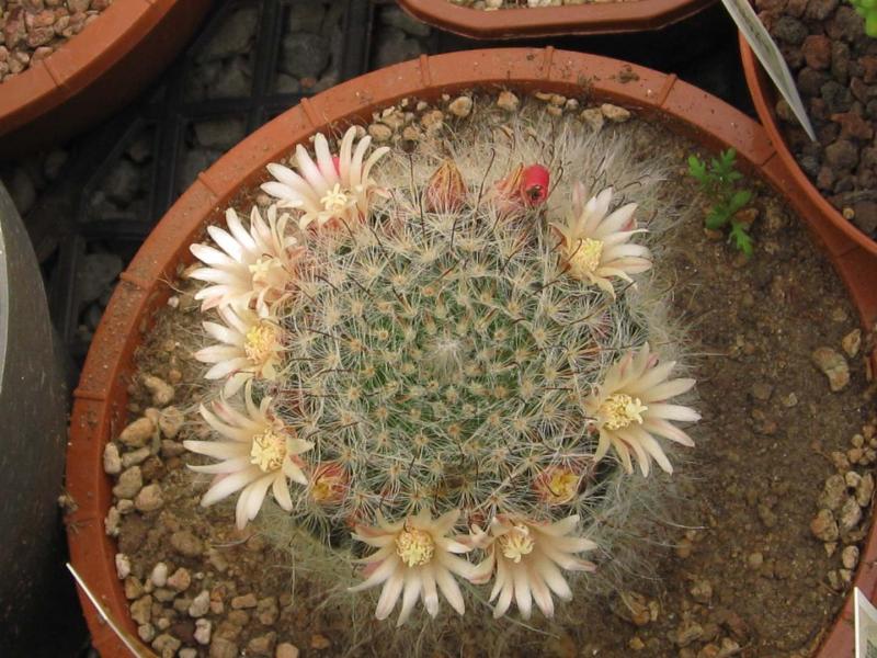 Mammillariabocasana.JPG