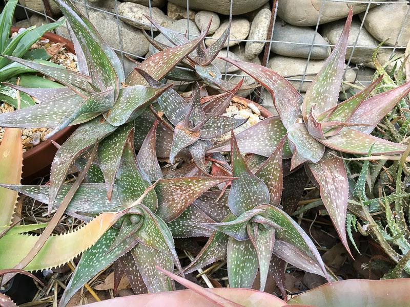Aloedeltoideodonta.jpg