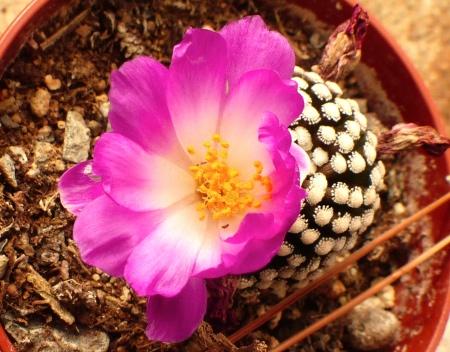 Mammillarialuethyi.jpg