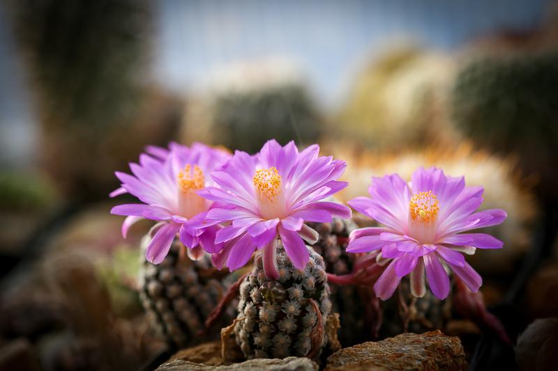 Mammillariatheresae-3.jpg