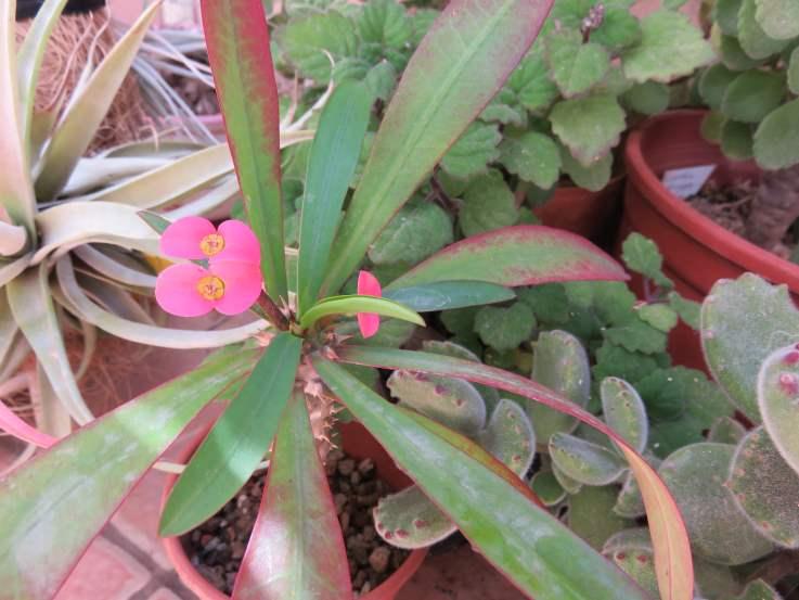 EuphorbiaPytheas1.JPG
