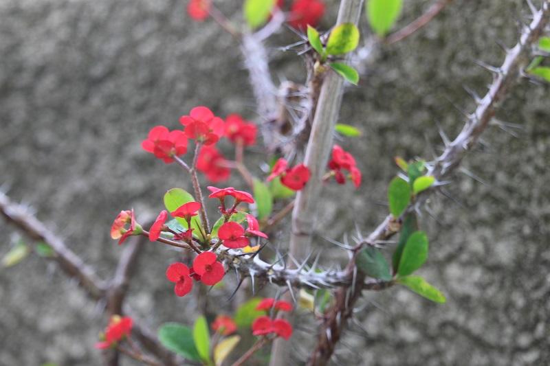 Euphorbia_millii.jpg