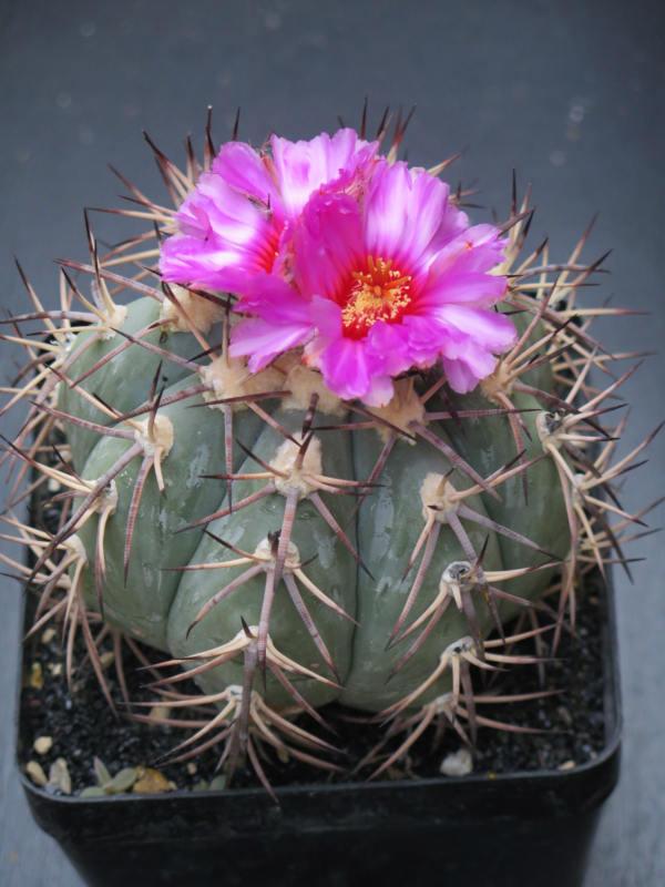 Echinocactushorizonthalonius100918.JPG
