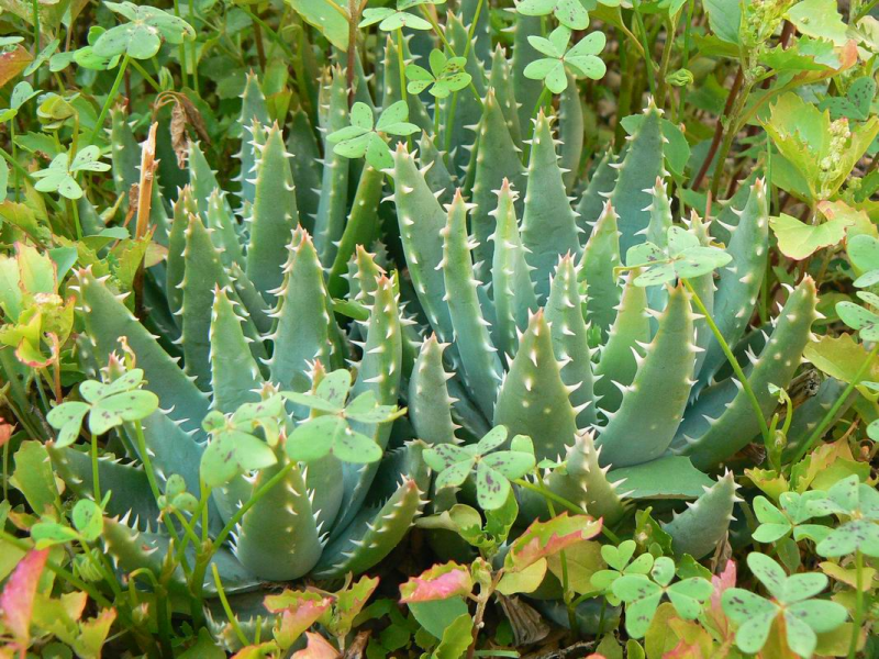 AloebrevifoliapostgenitaJLP1370505.JPG