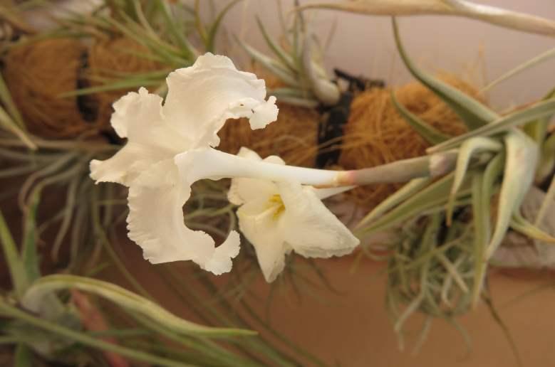 Tillandsiaxiphioidesf.naine2.JPG