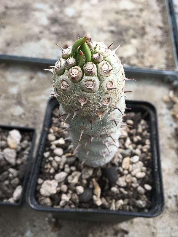 Euphorbiaunispina.jpg