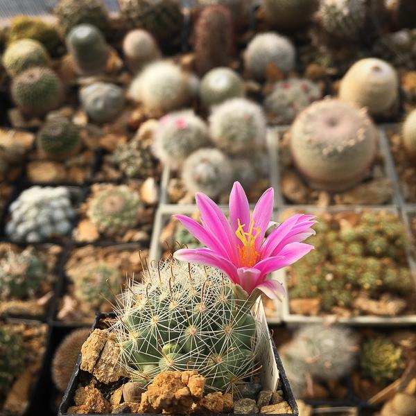 Mammillariainsularis.jpg