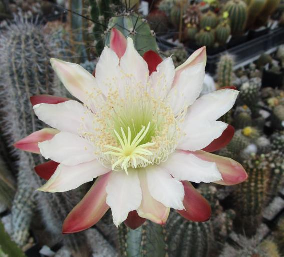 Cereus-hankeanus-Fleur-CF.jpg