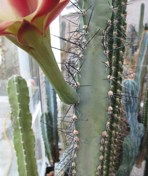 Cereus-hankeanus-Tige-CF.jpg