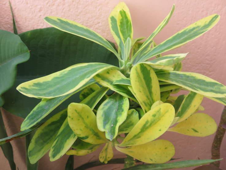 Euphorbianeriifolia20192.JPG