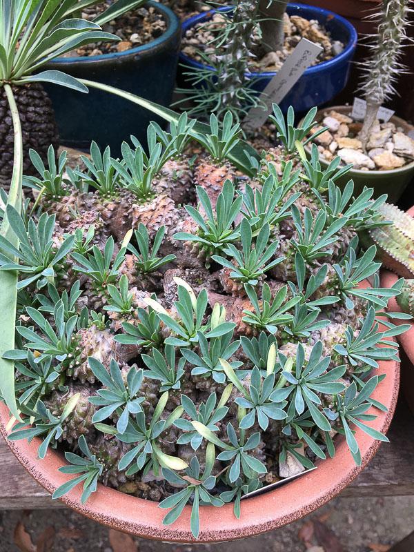Euphorbiajaponica.jpg