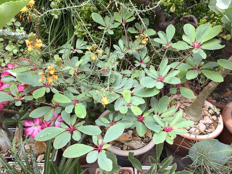 Euphorbiabongolavensis.jpg
