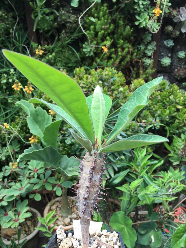 Euphorbiacaput-aureum2.jpg