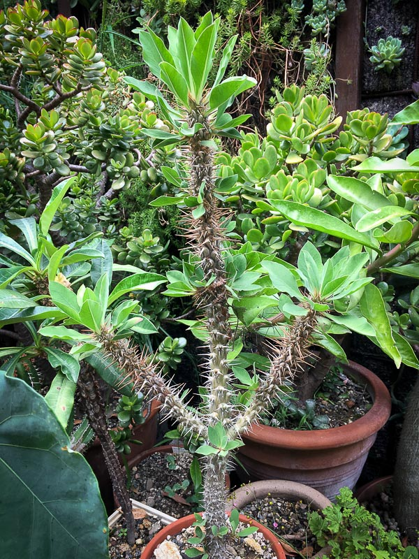 Euphorbiadidieroides.jpg