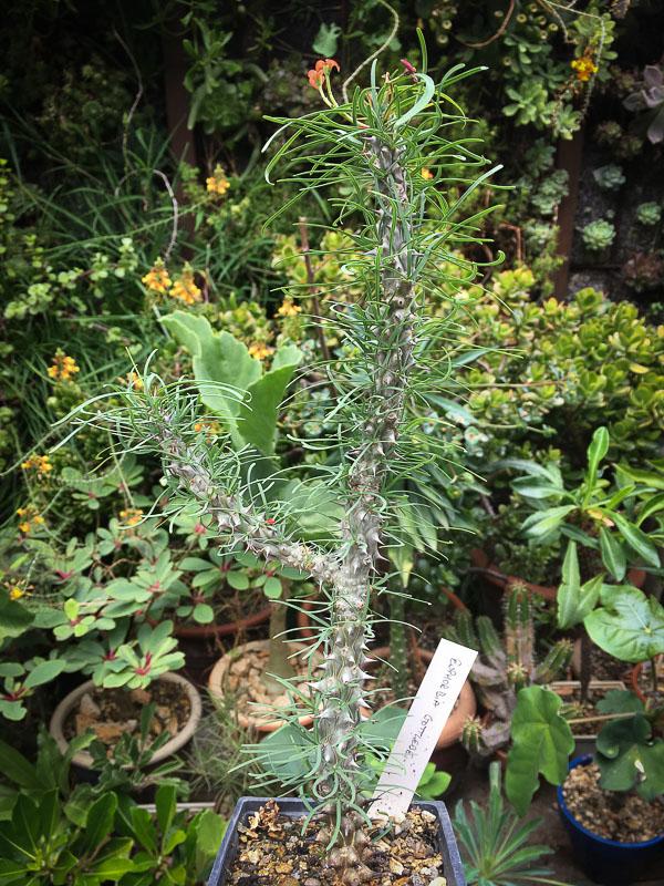 Euphorbiagottlebei2.jpg