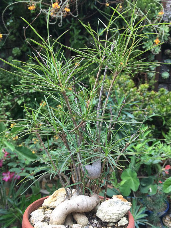 Euphorbiahedyotoides.jpg