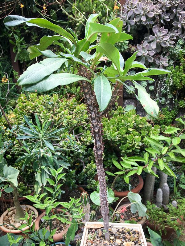 Euphorbialophogona2.jpg