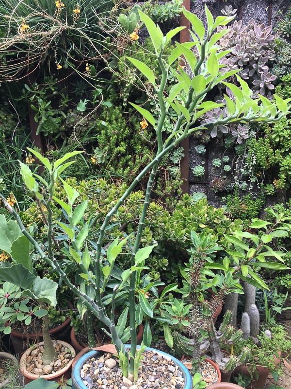 Euphorbiatithymaloides.jpg