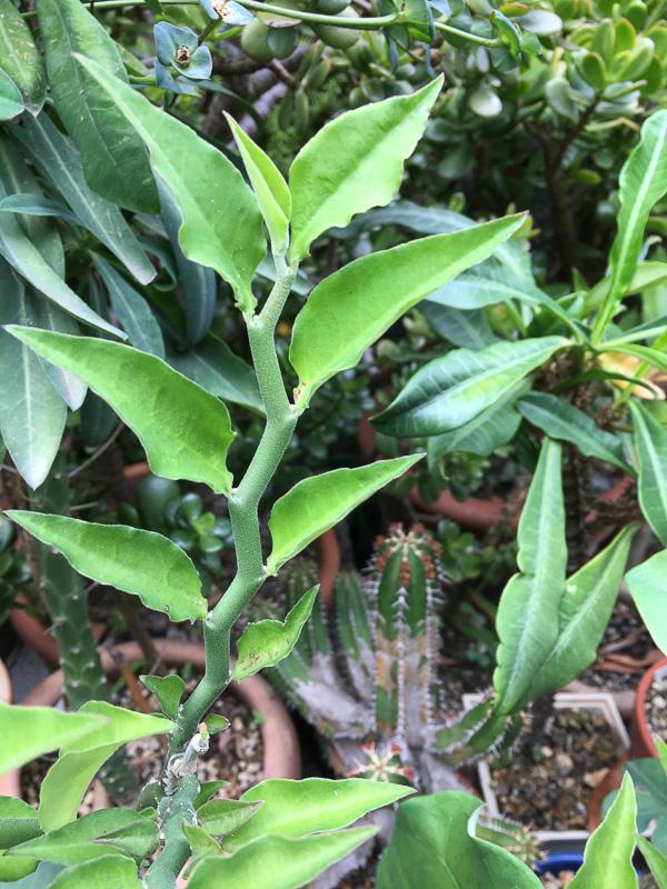 Euphorbiatithymaloides2.jpg