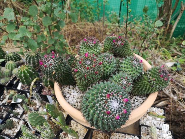 Mammillariapolythele_2019.jpg