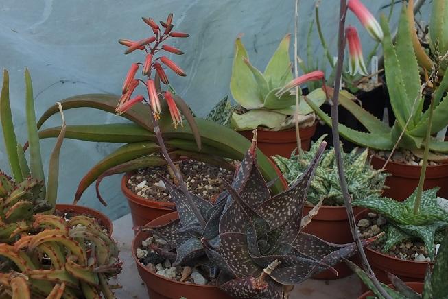 Aloe_deltoideodonta_DSCF3551R.jpg