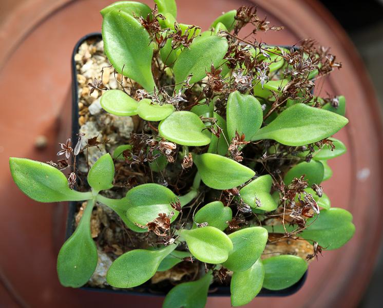 TylecodonlongipesJAA933-2.jpg