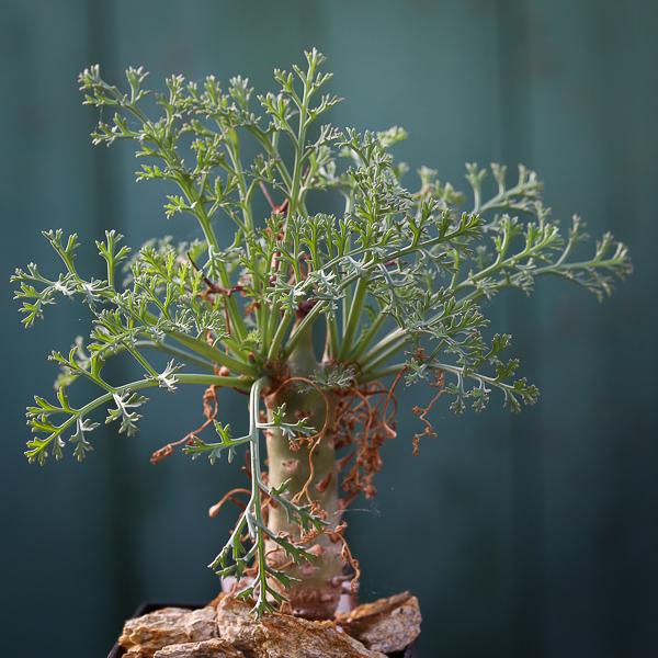 Pelargoniumcrithmifolium.jpg