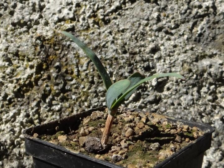 Welwitschiamirabilis2.JPG
