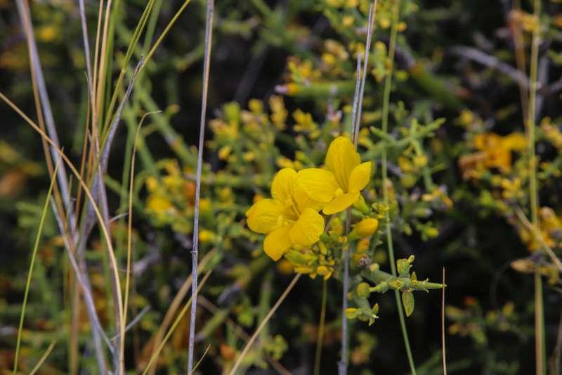 Menodora_robusta.jpg