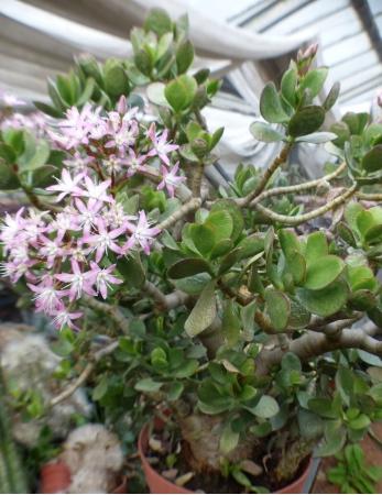 Crassulaoortulaceaplante.jpg