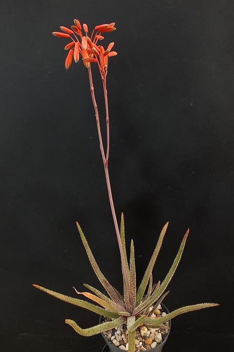 Aloe_delicatifolia_DSCF1481R.jpg