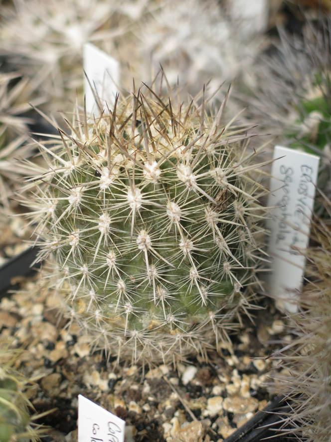 gerocephala1.jpg