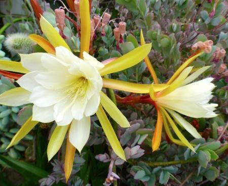 Epiphyllum sp .jpg