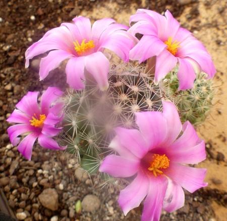 Mammillariaboolii.jpg