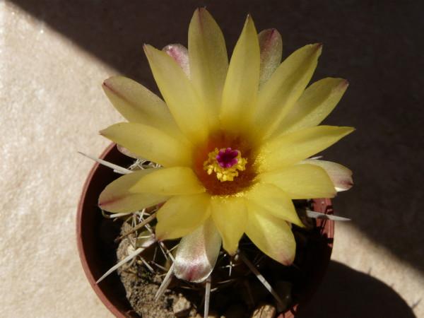 Notocactussp01.3cf.jpg