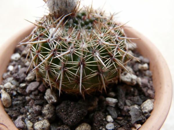 Notocactussp032cf.jpg