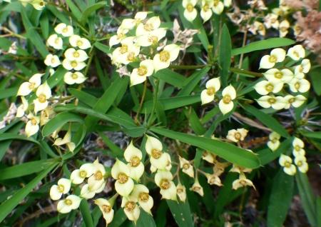 Euphorbiamilii1.jpg