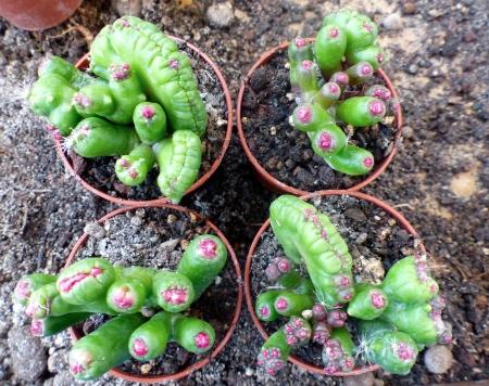 Mammillariafred4pots.jpg