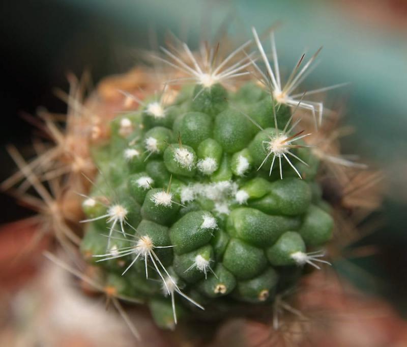 DSCF2770-MammillariaFred.jpg
