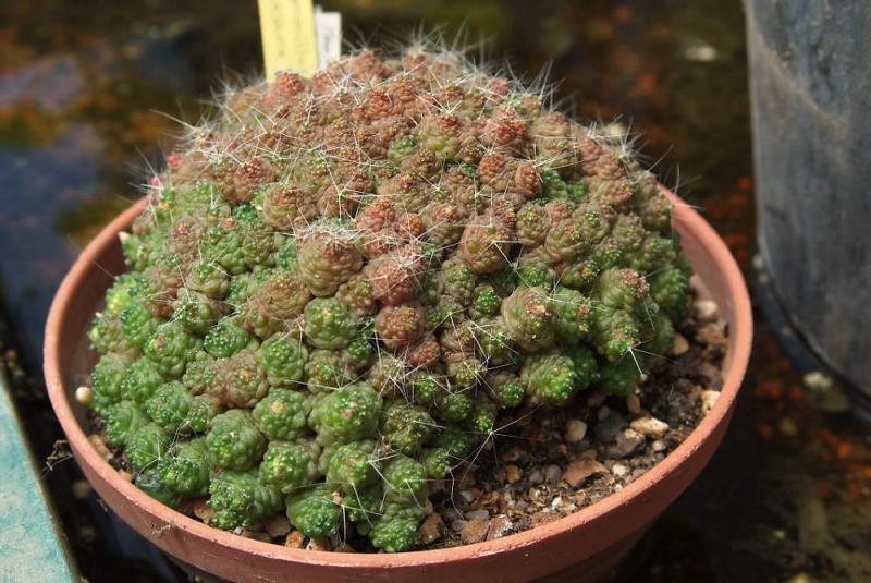 DSCF2767-MammillariaFred.jpg