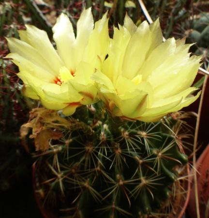 Hamatocactussetispinus.jpg