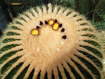 Echinocactusgrusonii60cm.jpg