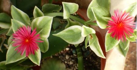 Apteniacordifoliavariegata.jpg