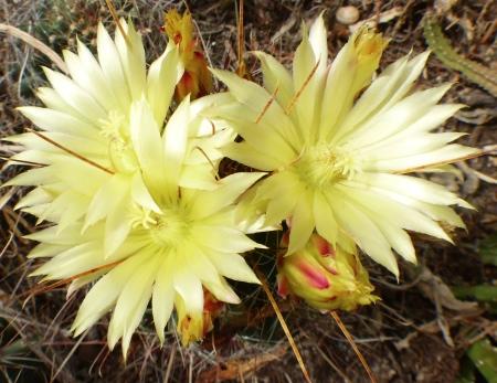 Ferocactushamatacanthus.jpg