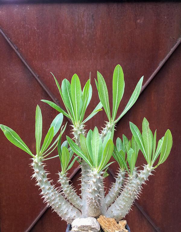 Pachypodiumhorombense2.jpg