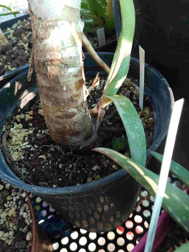 AloexCaesia.jpg